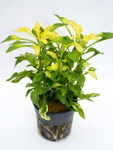 althernanthera bettzickiana green/yellow