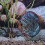 Stendker discus rood turqouise 5 cm