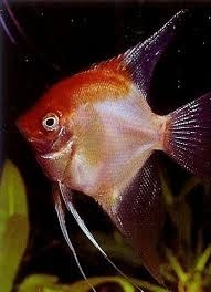 maanvis red devil