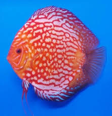 Stendker discus pigeon red blood 5 cm