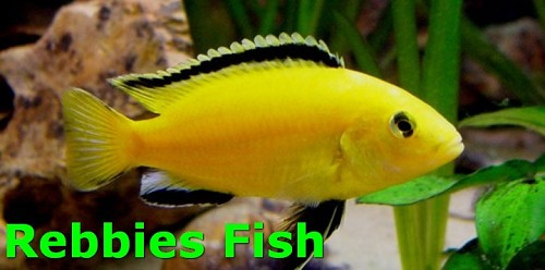 Yellow cichlides 4-6 cm groot