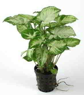 Syngonium pixii, aquariumplanten in pot