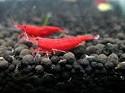 caridina fire red 1,2-1,7 cm