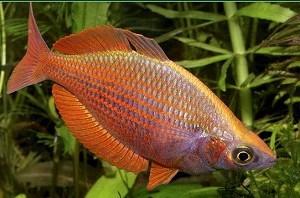 regenboogzalm-rood - Groot